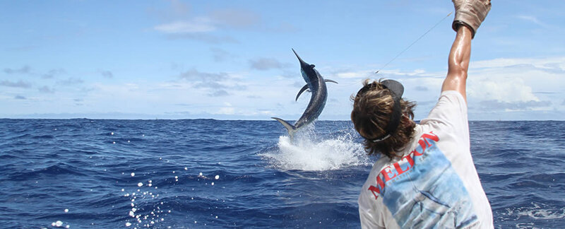 Game fisher grabbing fishing line to draw in jumping marlin fish during tournament